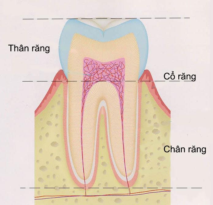 cấu trúc hàm răng